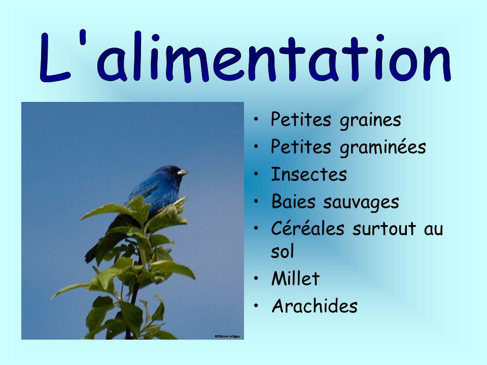 L alimentation Petites graines Petites graminées Insectes