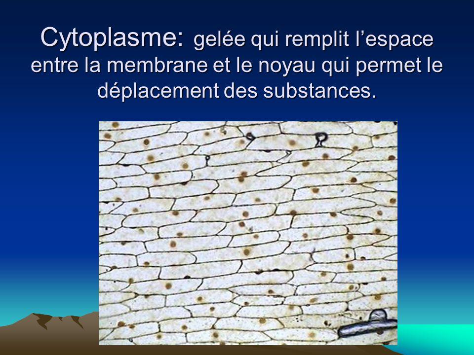 Cytoplasme: gelée qui remplit l'espace entre la membrane et le noyau qui permet le déplacement des substances.