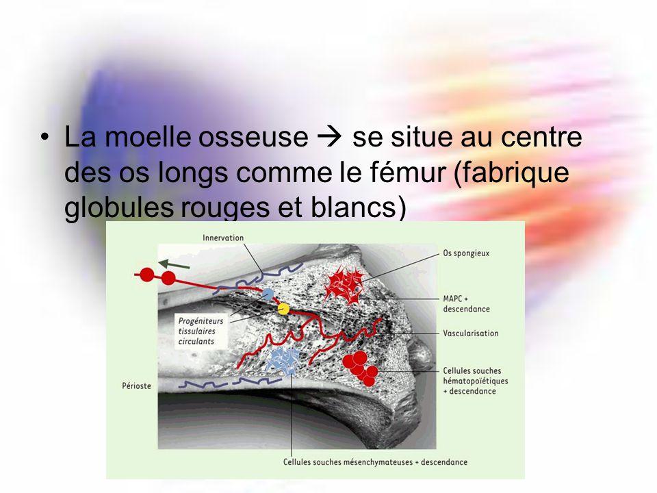 La moelle osseuse  se situe au centre des os longs comme le fémur (fabrique globules rouges et blancs)