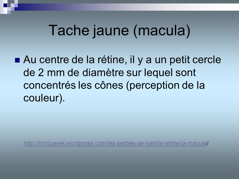 Tache jaune (macula)