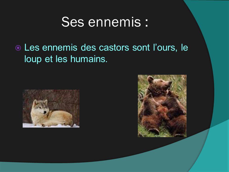 Ses ennemis : Les ennemis des castors sont l'ours, le loup et les humains.