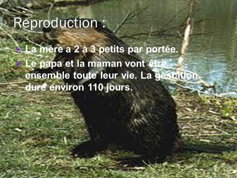 Reproduction : La mère a 2 à 3 petits par portée.
