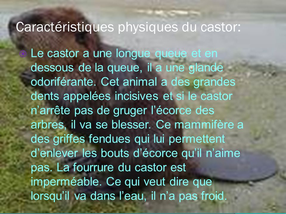 Caractéristiques physiques du castor: