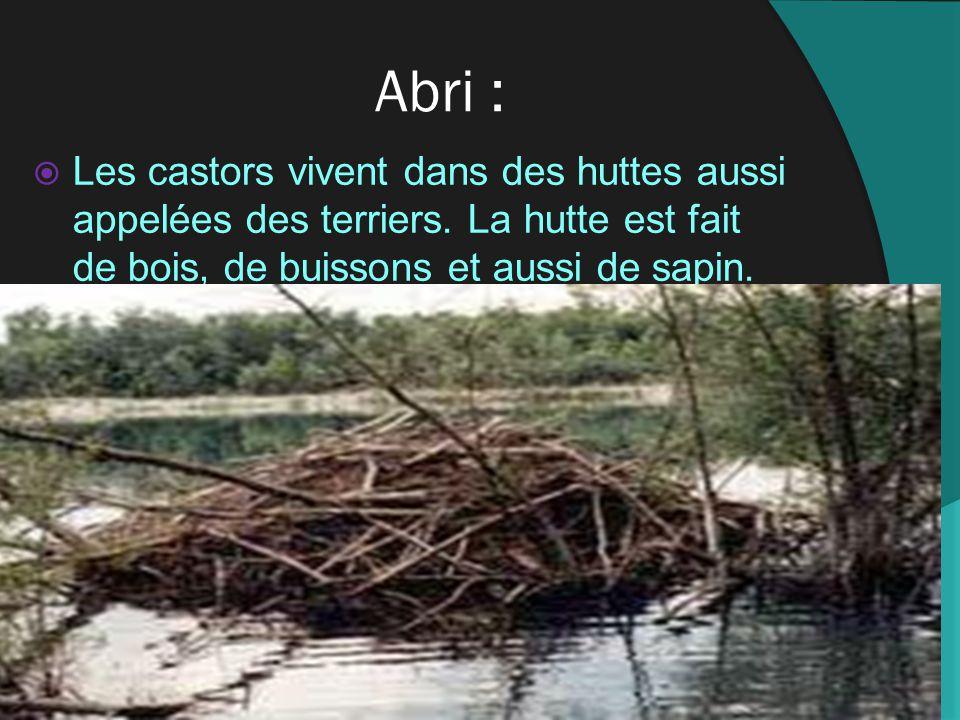 Abri : Les castors vivent dans des huttes aussi appelées des terriers.