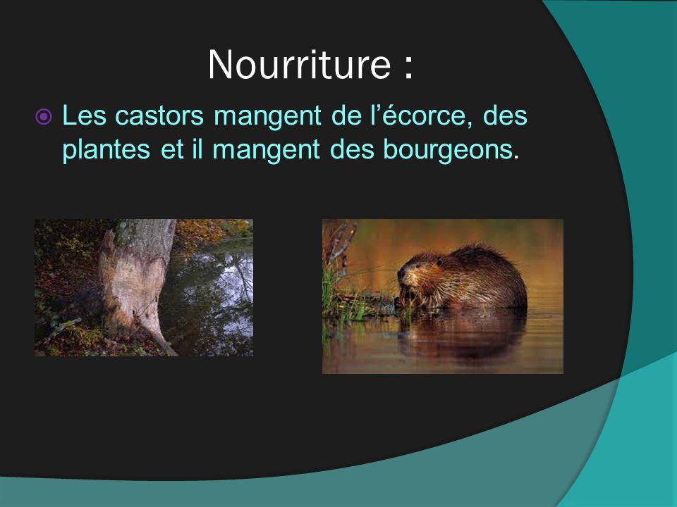 Nourriture : Les castors mangent de l'écorce, des plantes et il mangent des bourgeons.