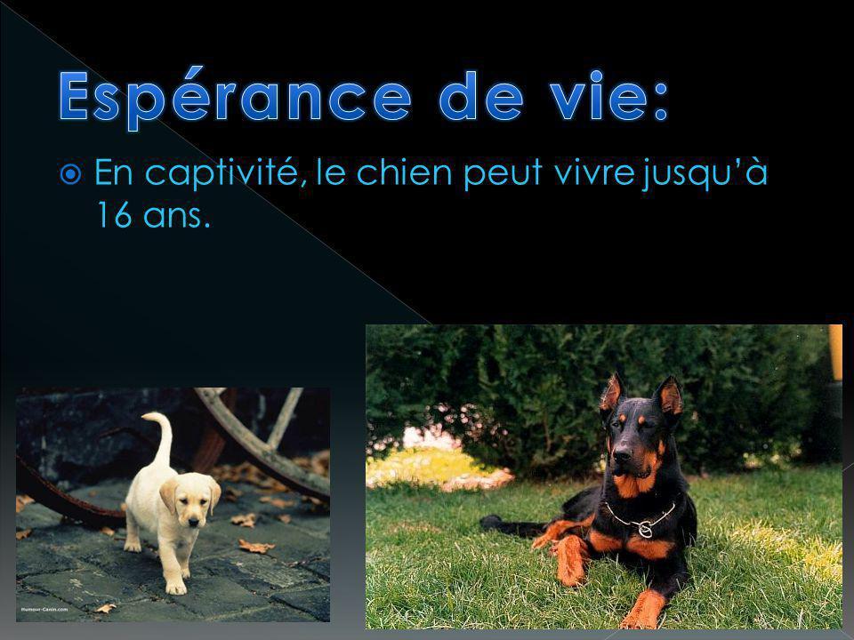 Espérance de vie: En captivité, le chien peut vivre jusqu'à 16 ans.