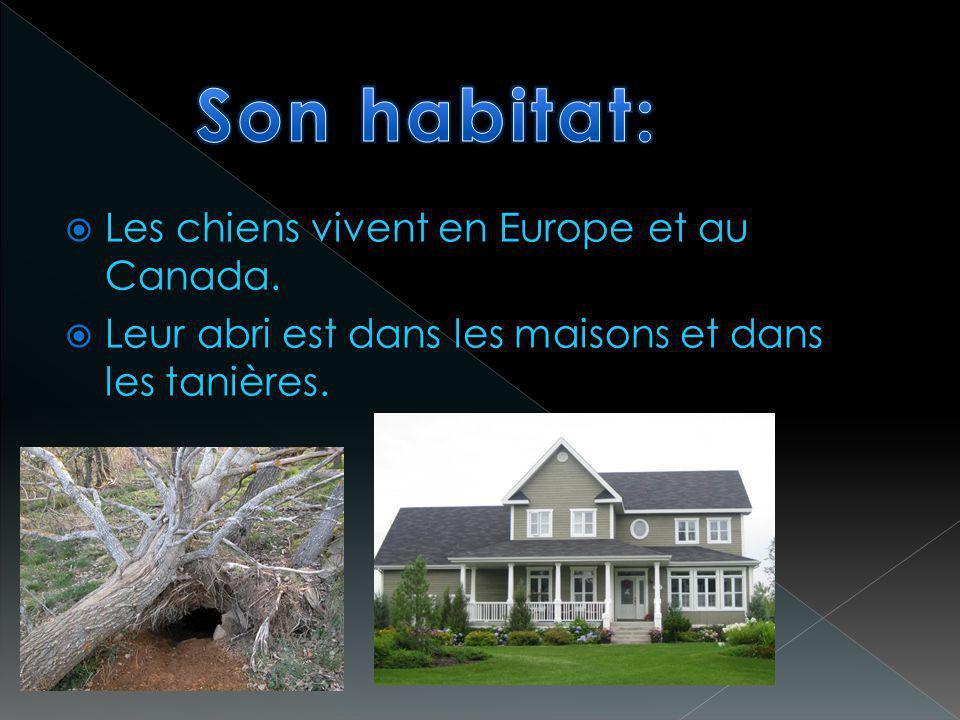 Son habitat: Les chiens vivent en Europe et au Canada.