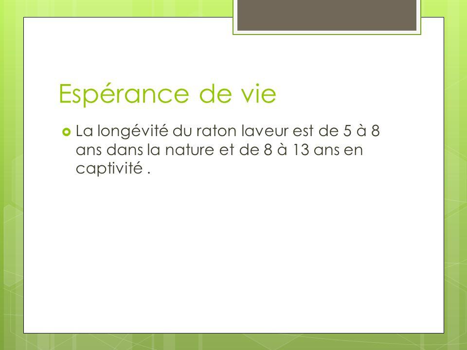 Espérance de vie La longévité du raton laveur est de 5 à 8 ans dans la nature et de 8 à 13 ans en captivité .