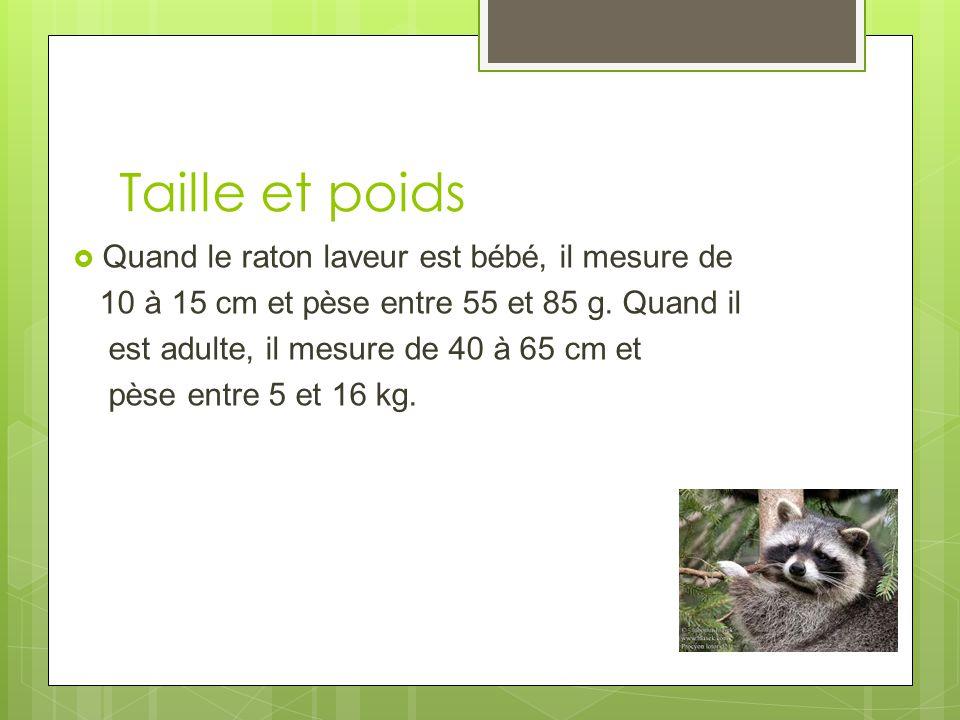 Taille et poids Quand le raton laveur est bébé, il mesure de