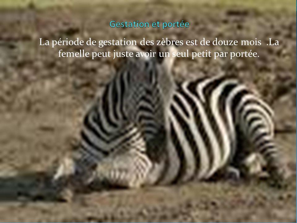 Gestation et portée La période de gestation des zèbres est de douze mois .La femelle peut juste avoir un seul petit par portée.