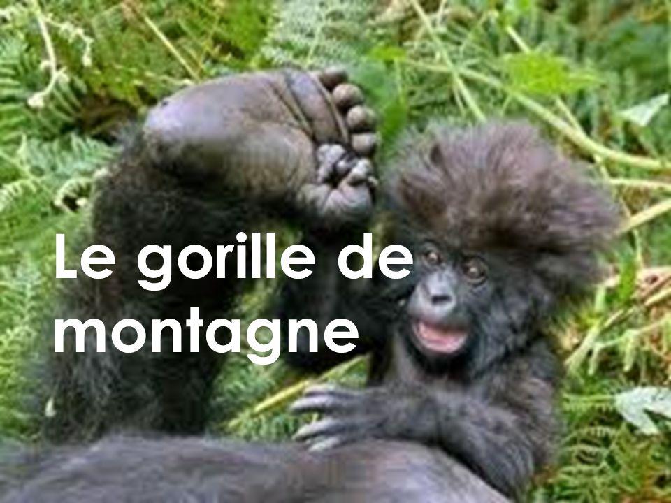 Le gorille de montagne