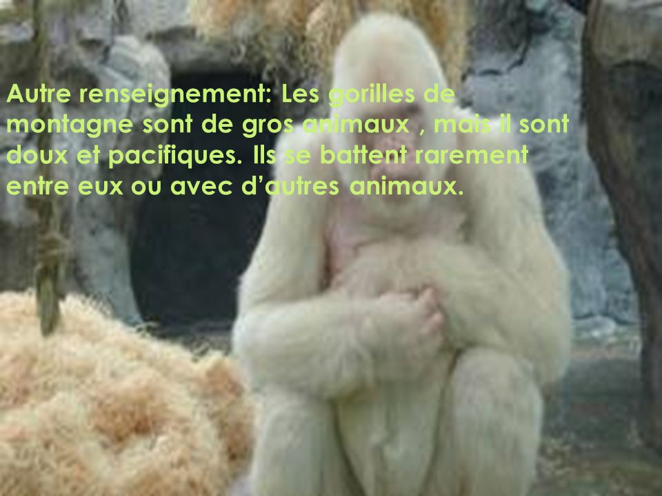 Autre renseignement: Les gorilles de montagne sont de gros animaux , mais il sont doux et pacifiques.