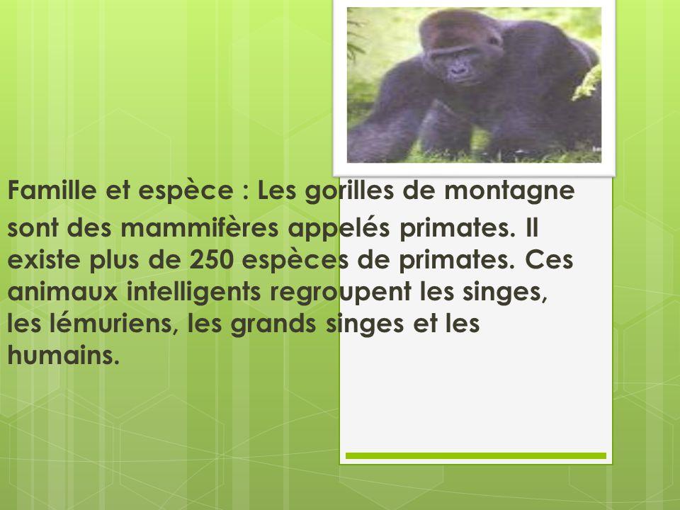 Famille et espèce : Les gorilles de montagne