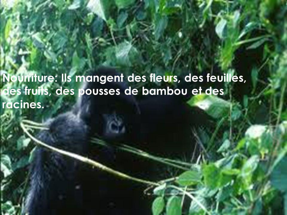 Nourriture: Ils mangent des fleurs, des feuilles, des fruits, des pousses de bambou et des racines.