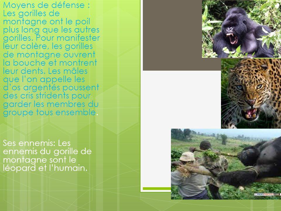 Moyens de défense : Les gorilles de montagne ont le poil plus long que les autres gorilles. Pour manifester leur colère, les gorilles de montagne ouvrent la bouche et montrent leur dents. Les mâles que l'on appelle les d'os argentés poussent des cris stridents pour garder les membres du groupe tous ensemble.