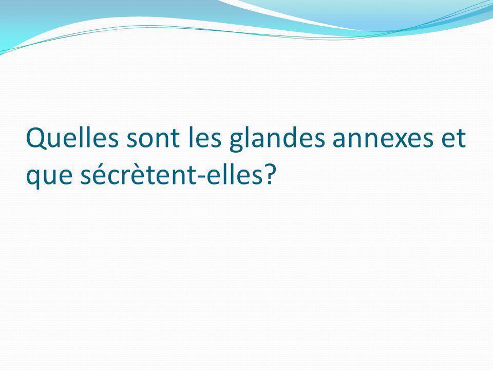 Quelles sont les glandes annexes et que sécrètent-elles