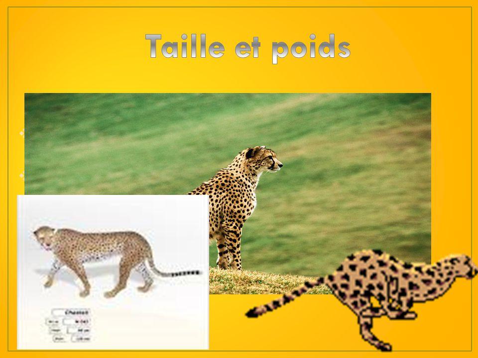 Taille et poids La tailles d'un guépard varie entre un mètre et un mètre et demie sans la queue.