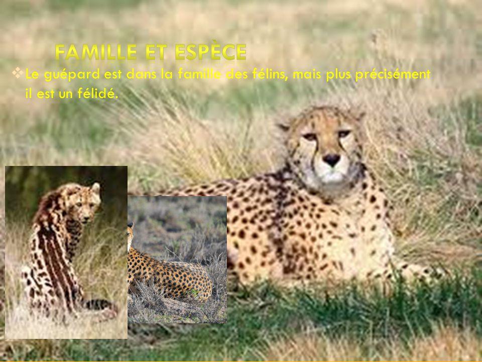 famille et espèce Le guépard est dans la famille des félins, mais plus précisément il est un félidé.