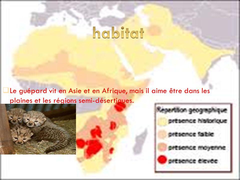 habitat Le guépard vit en Asie et en Afrique, mais il aime être dans les plaines et les régions semi-désertiques.