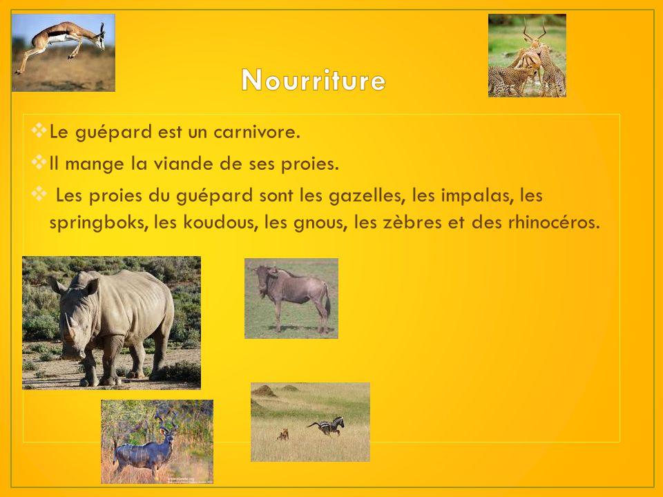 Nourriture Le guépard est un carnivore.