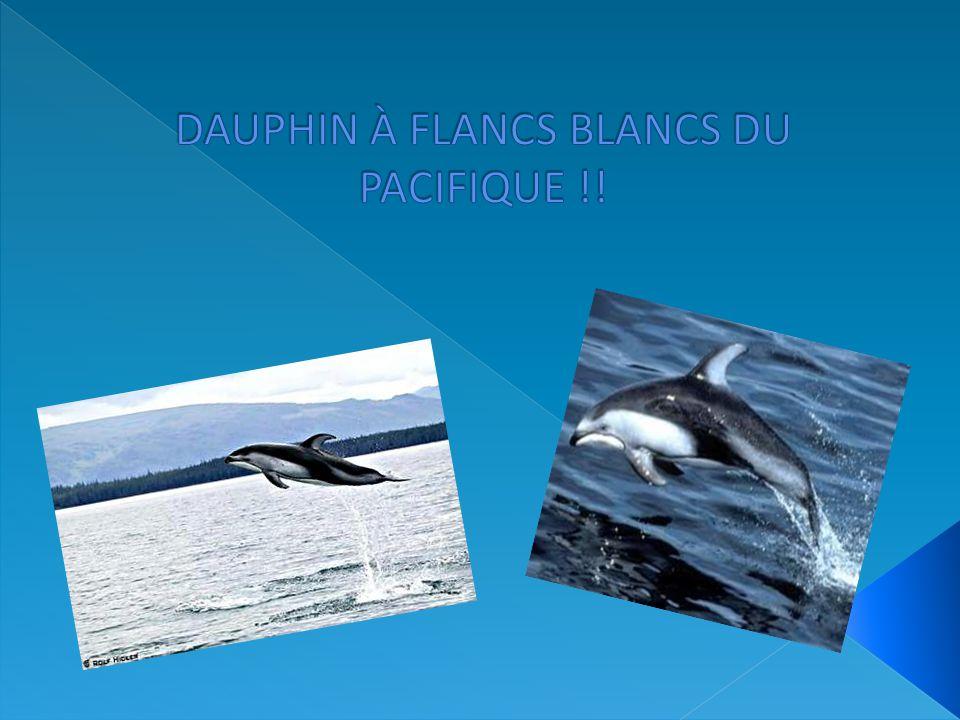DAUPHIN À FLANCS BLANCS DU PACIFIQUE !!