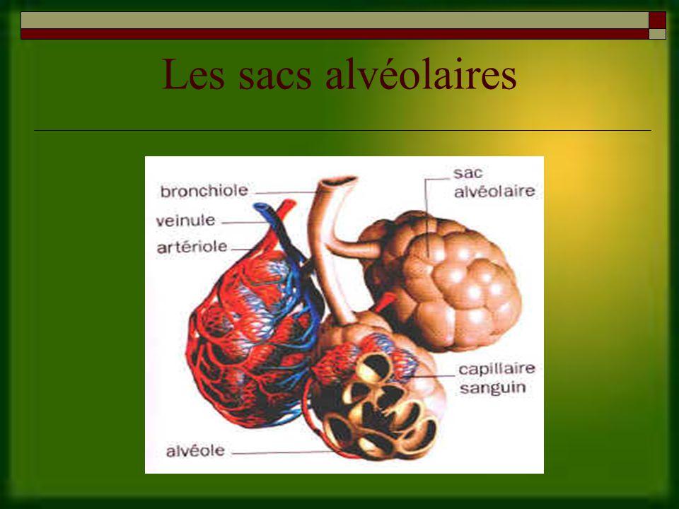 Les sacs alvéolaires