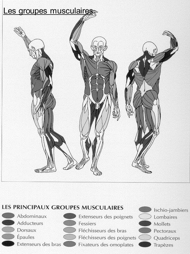 Les groupes musculaires