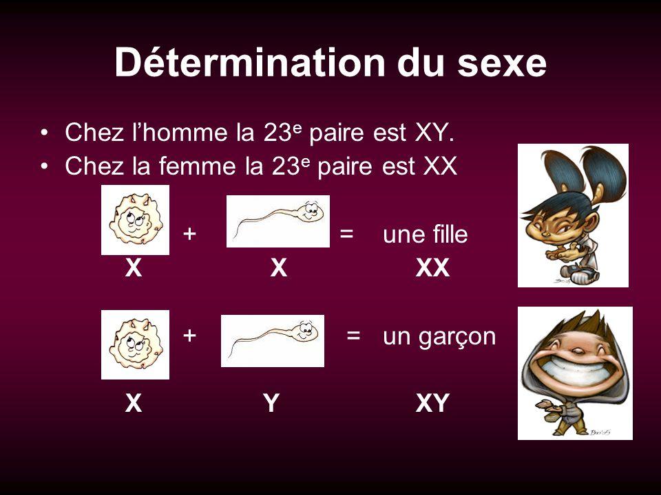 Détermination du sexe Chez l'homme la 23e paire est XY.