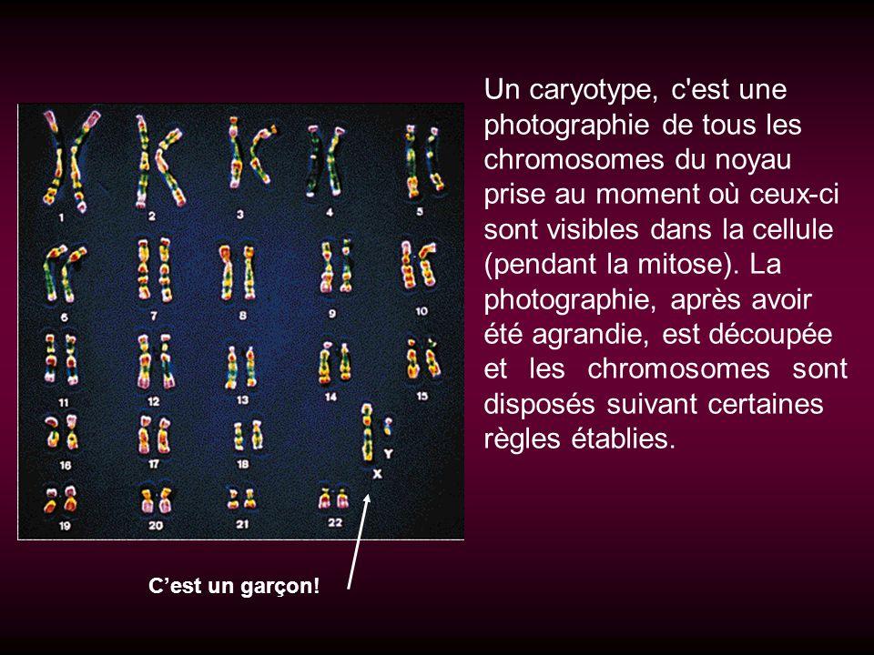 photographie de tous les chromosomes du noyau