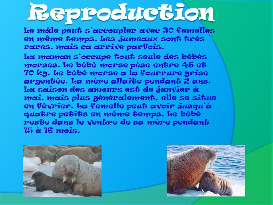 Reproduction Le mâle peut s'accoupler avec 30 femelles en même temps. Les jumeaux sont très rares, mais ça arrive parfois.
