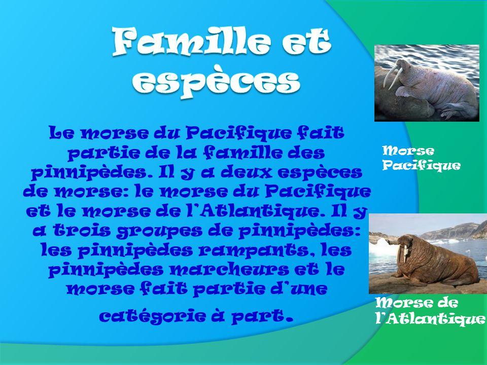 Famille et espèces Morse Pacifique.