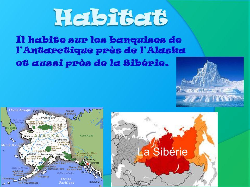 Habitat Il habite sur les banquises de l'Antarctique près de l'Alaska et aussi près de la Sibérie.
