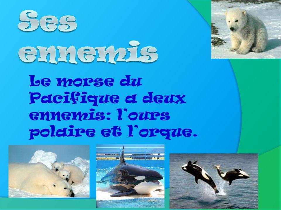 Ses ennemis Le morse du Pacifique a deux ennemis: l'ours polaire et l'orque.