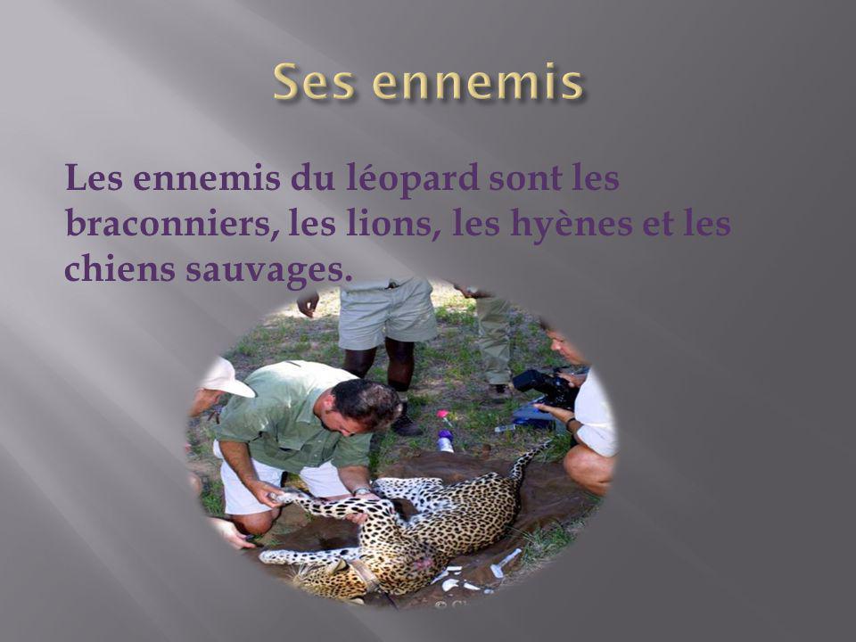 Ses ennemis Les ennemis du léopard sont les braconniers, les lions, les hyènes et les chiens sauvages.