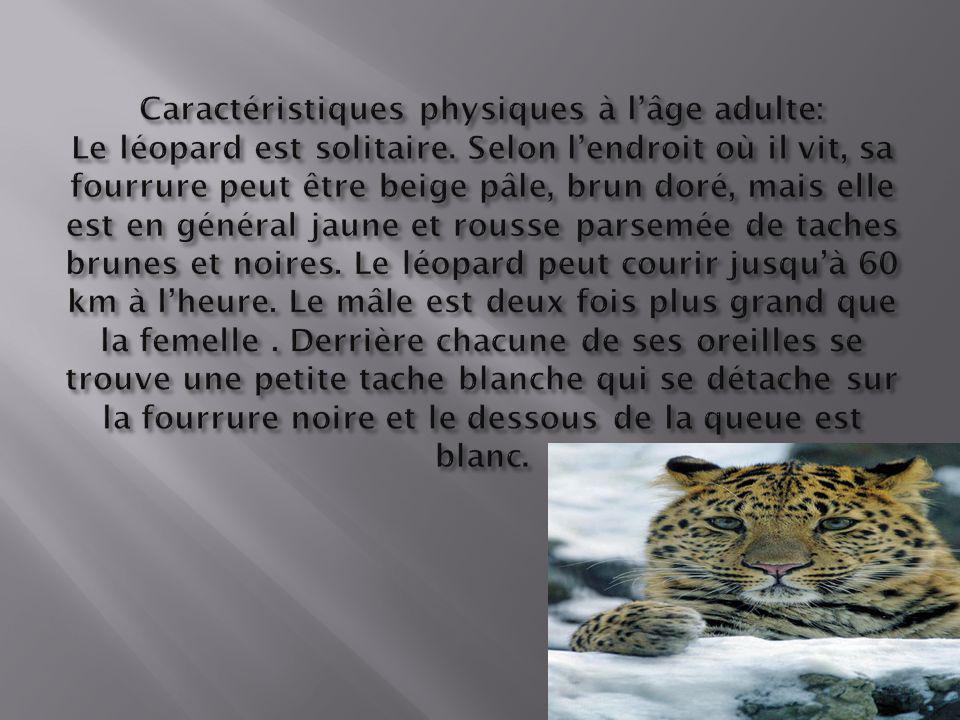 Caractéristiques physiques à l'âge adulte: Le léopard est solitaire