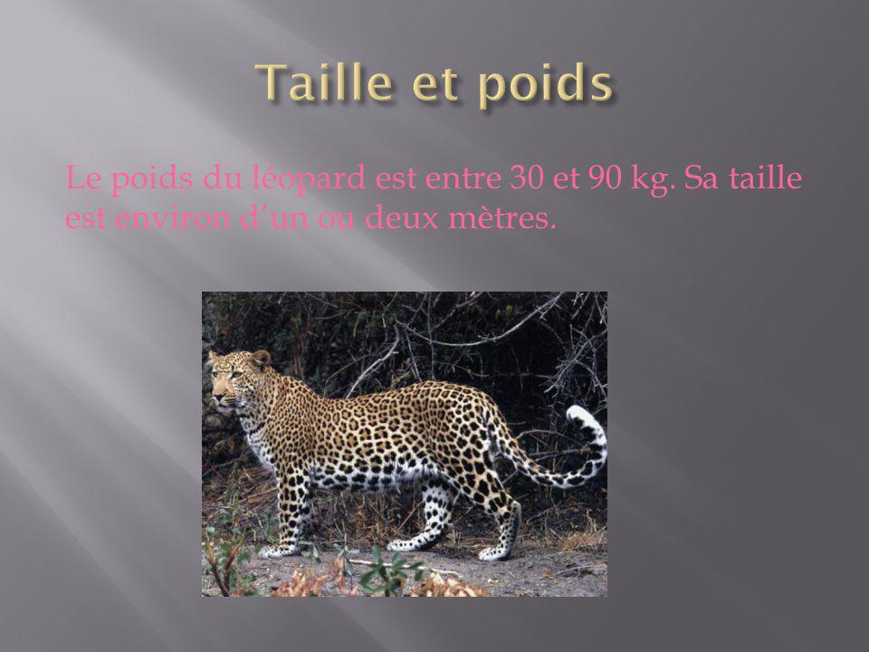 Taille et poids Le poids du léopard est entre 30 et 90 kg.