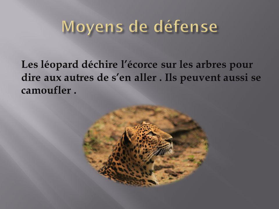 Moyens de défense Les léopard déchire l'écorce sur les arbres pour dire aux autres de s'en aller .