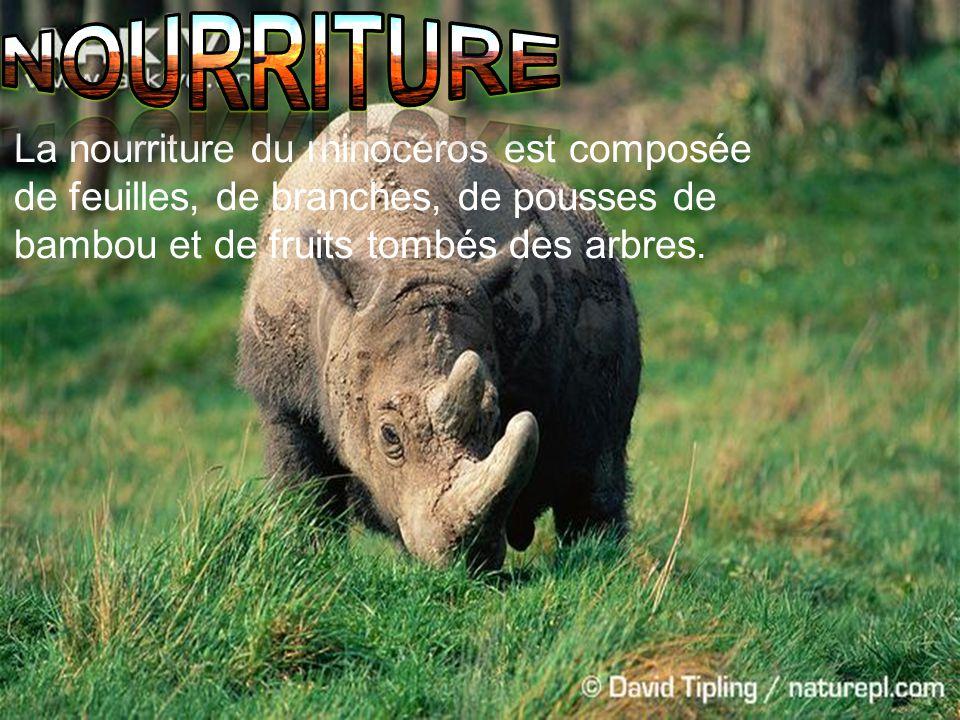 nourriture La nourriture du rhinocéros est composée de feuilles, de branches, de pousses de bambou et de fruits tombés des arbres.