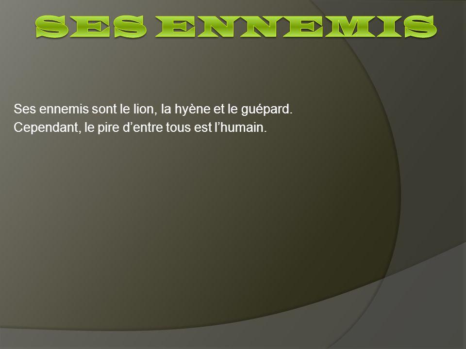 Ses ennemis Ses ennemis sont le lion, la hyène et le guépard.