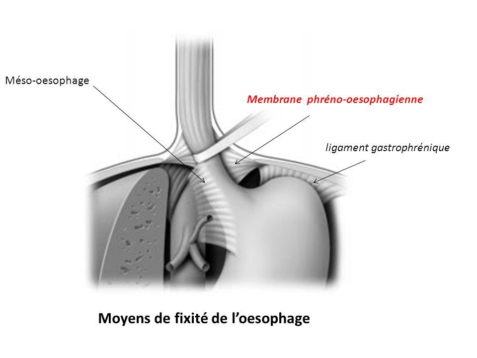 Moyens de fixité de l'oesophage