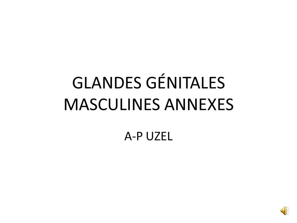 GLANDES GÉNITALES MASCULINES ANNEXES