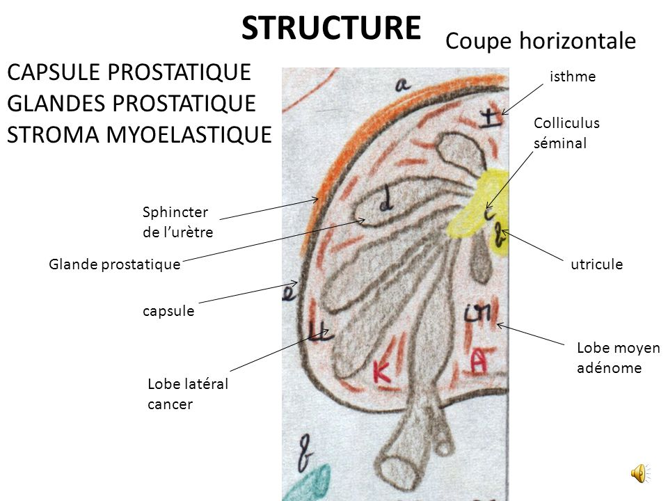 STRUCTURE Coupe horizontale CAPSULE PROSTATIQUE GLANDES PROSTATIQUE