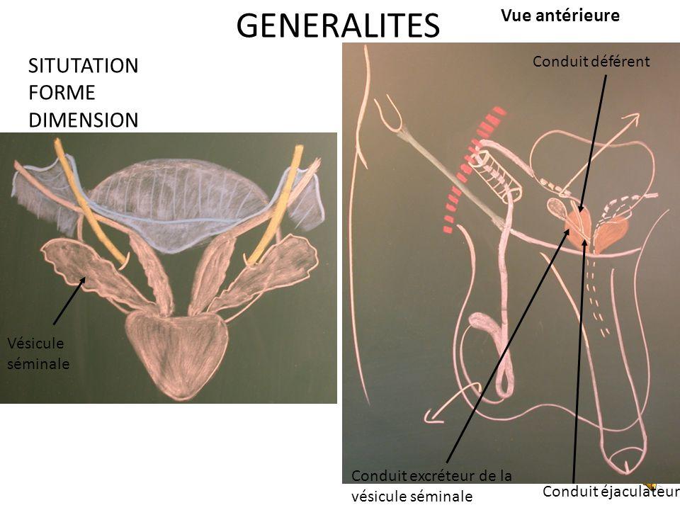 GENERALITES SITUTATION FORME DIMENSION Vue antérieure Conduit déférent