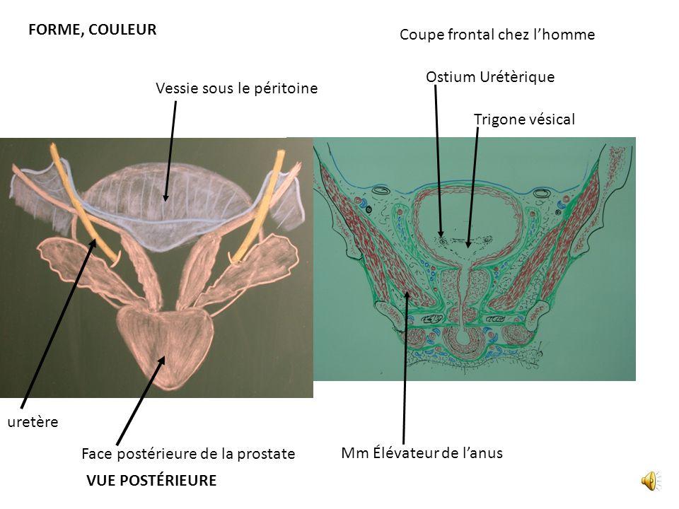 FORME, COULEUR Coupe frontal chez l'homme. Ostium Urétèrique. Vessie sous le péritoine. Trigone vésical.