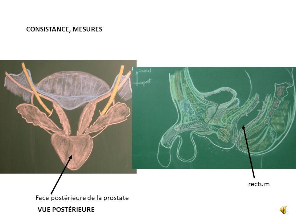 CONSISTANCE, MESURES rectum Face postérieure de la prostate VUE POSTÉRIEURE