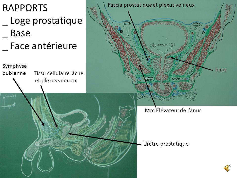 RAPPORTS _ Loge prostatique _ Base _ Face antérieure