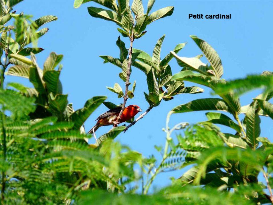 Petit cardinal