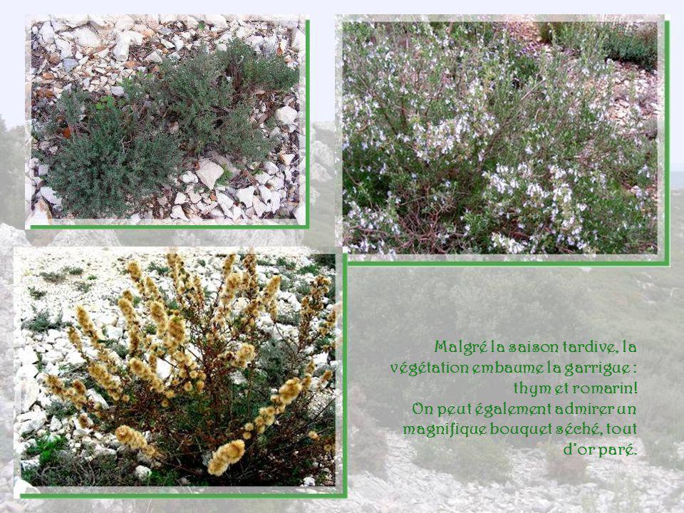 Malgré la saison tardive, la végétation embaume la garrigue : thym et romarin!