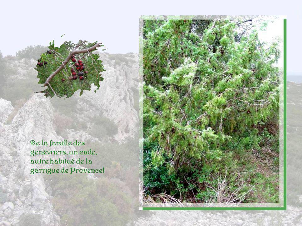 De la famille des genévriers, un cade, autre habitué de la garrigue de Provence!
