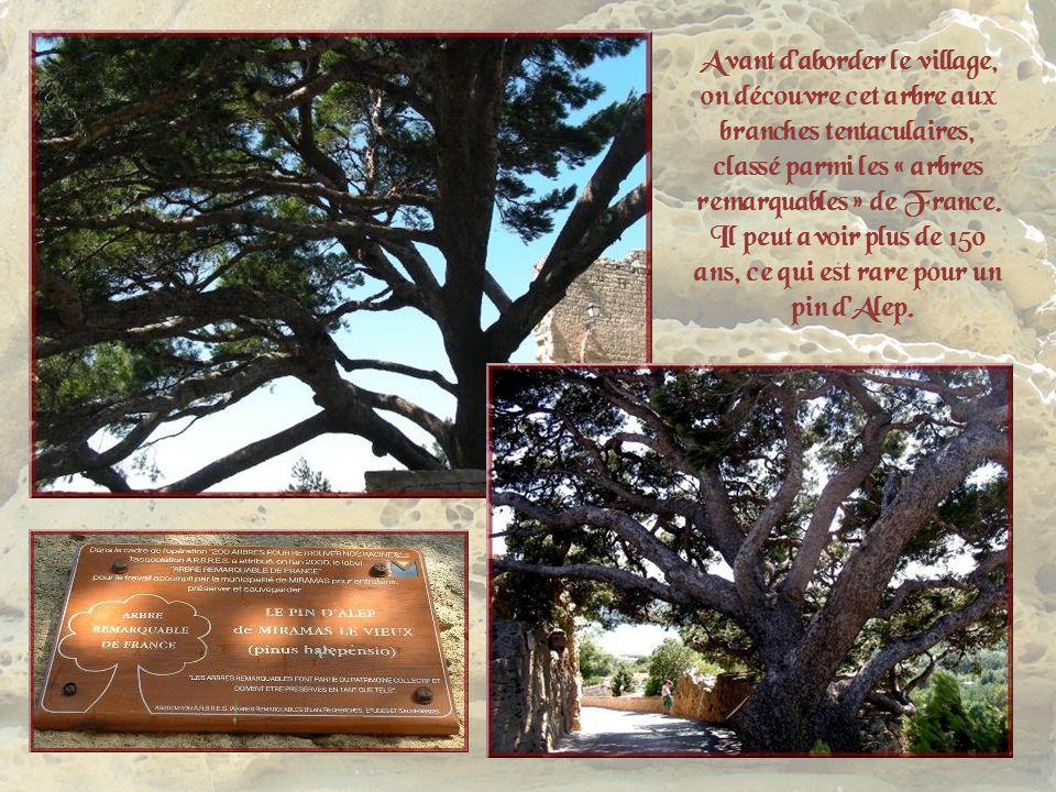 Avant d'aborder le village, on découvre cet arbre aux branches tentaculaires, classé parmi les « arbres remarquables » de France. Il peut avoir plus de 150 ans, ce qui est rare pour un